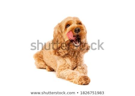 Caniche chien blanche fourrures illustration fond Photo stock © bluering