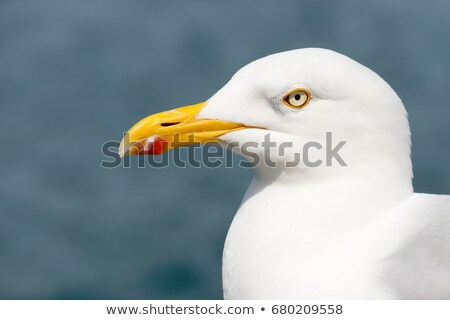seagull bird in falmouth cornwall england stock photo © latent