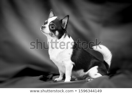 Stock photo: chihuahua sitting in a dark photo studio