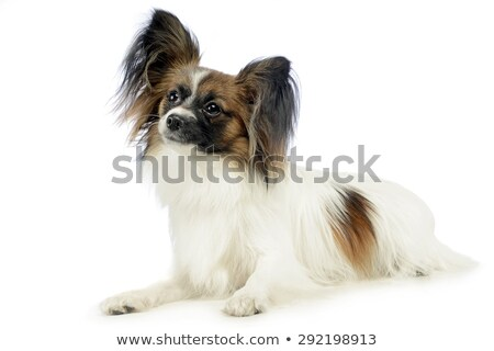 cute papillon relaxing in white photo studio Stock photo © vauvau