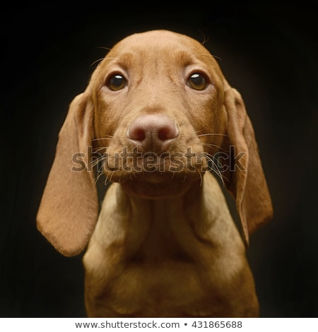 very cute puppy hungarian vizsla in the dark studio stock photo © vauvau