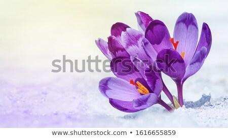 Crocus fiori di primavera isolato bianco natura sfondo Foto d'archivio © -Baks-