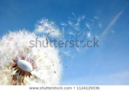 paardebloem · blauwe · hemel · voorjaar · natuur · achtergrond - stockfoto © -baks-