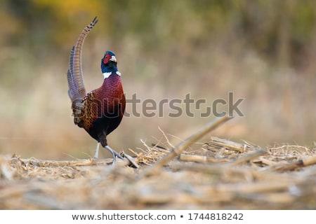 felnőtt · kakas · gyönyörű · kakas · profil · levél - stock fotó © naffarts