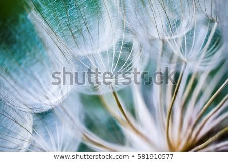 flor · azul · luz · azul · flor · isolado · branco - foto stock © Artida