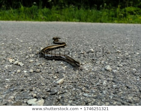 closeup of beautiful grass snake on asphalt road Stock photo © taviphoto