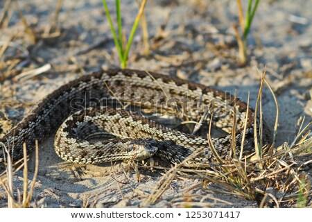 rarest european snake, the meadow viper Stock photo © taviphoto