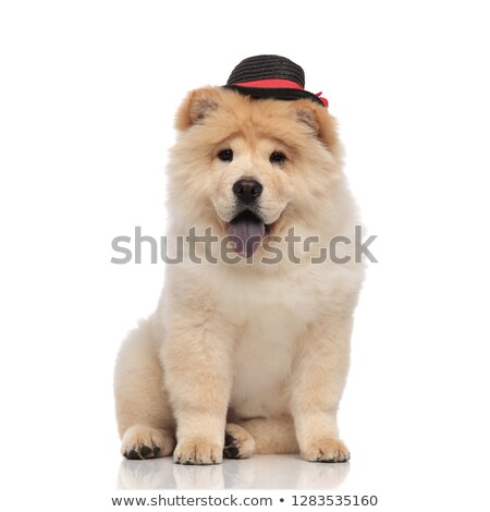 elegant chow chow wearing black hat panting and sitting Stock photo © feedough