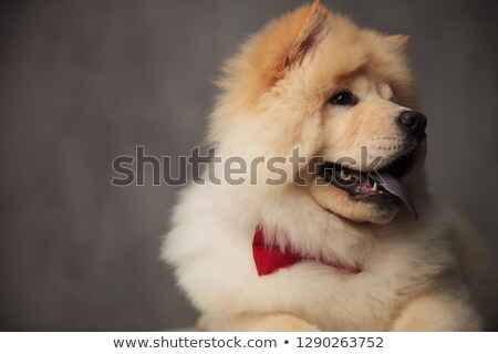 close up of curious chow chow wearing red bowtie panting Stock photo © feedough