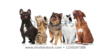 Csapat sok kíváncsi kutyák zihálás felfelé néz Stock fotó © feedough