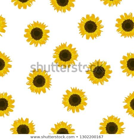 girassóis · grande · flor · amarelo · branco · fundo - foto stock © colematt