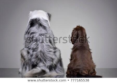 An adorable English Cocker Spaniel and an Australian shepherd Stock photo © vauvau