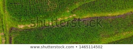 Arroz terraço tiro imagem belo Foto stock © galitskaya