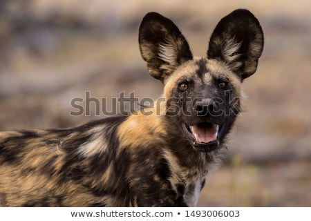 wild dog Stock photo © tiero