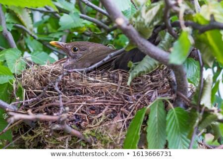 разведение дрозд черный гнезда дерево дыра черный Сток-фото © manfredxy