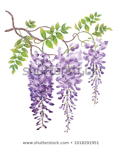 Blue wisteria flowers and leaves in botanical garden as floral background, nature and flowering Stock photo © Anneleven