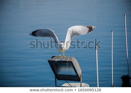 Seagulls Landing in Water stock photo © mackflix