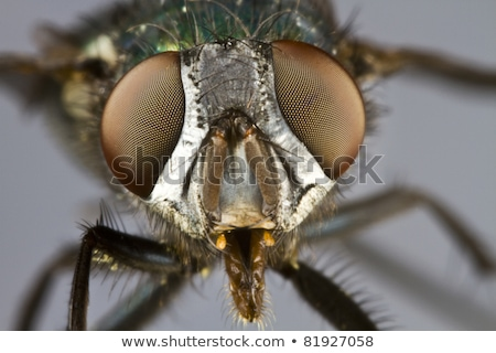 frontal shot of house fly Stock photo © gewoldi