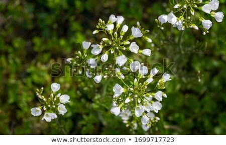 Koekoek bloem natuur tuin planten witte Stockfoto © rbiedermann