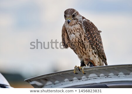 falcon lands on a gloved hand  Stock photo © morrbyte