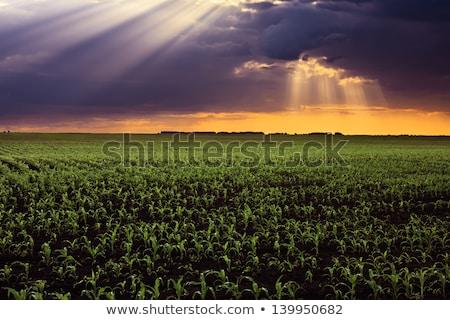Felhőkép kukoricamező friss tavasz virág felhők Stock fotó © tepic