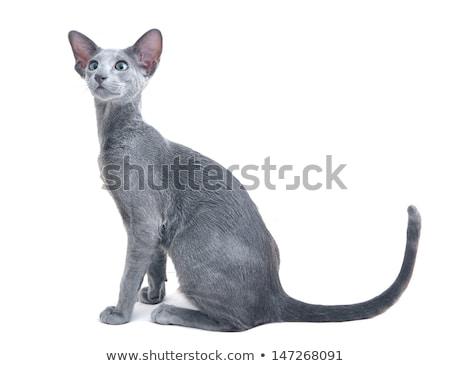 серый кошки портрет белый глазах Сток-фото © cynoclub