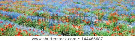 Lavender and red poppies in the French Provence Stock photo © ivonnewierink