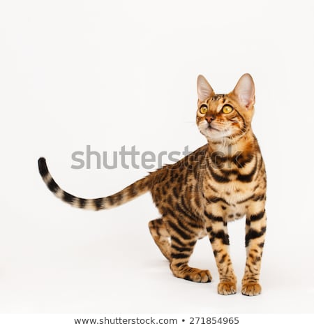 playing bengal cat Stock photo © cynoclub