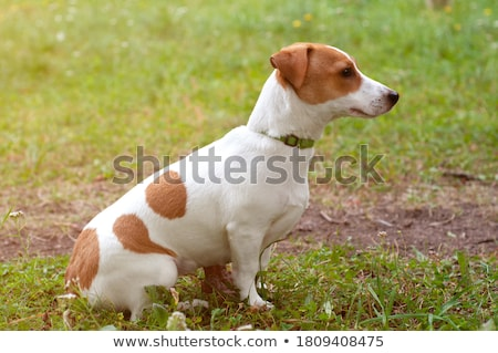 jack · russell · terrier · perfil · olhando - foto stock © oliverjw