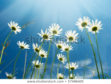 green grass white flowers and blue sky stock photo © goce