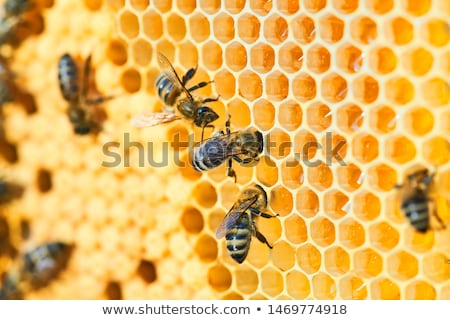 Producing honey Stock photo © badmanproduction