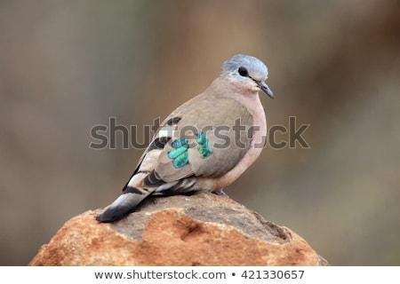 Zümrüt güvercin Afrika yeşil doğa kuş Stok fotoğraf © Livingwild