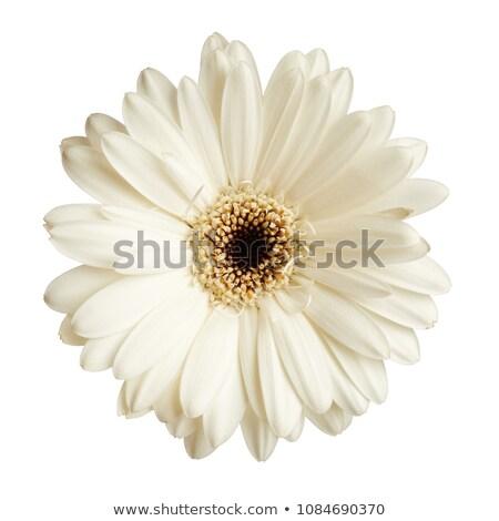 white gerbera daisy Flower Stock photo © stocker