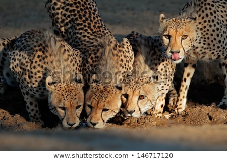 cheetah wild cat drinking stock photo © fouroaks