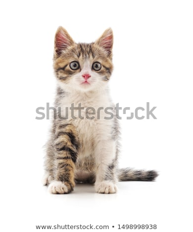 Kitten isolated on white Stock photo © c-foto