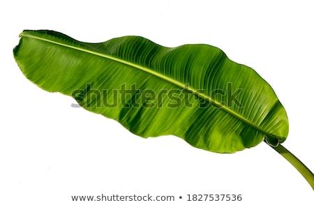 banán · zöld · napos · levél · konzerv · víz - stock fotó © prill