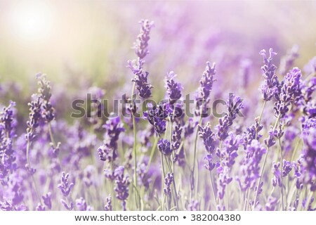 violet summer flowers  Stock photo © mady70