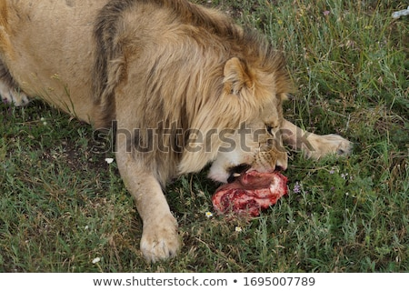 Lions Feeding Stock photo © master1305