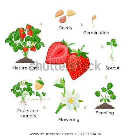 Strawberry stem Stock photo © milsiart