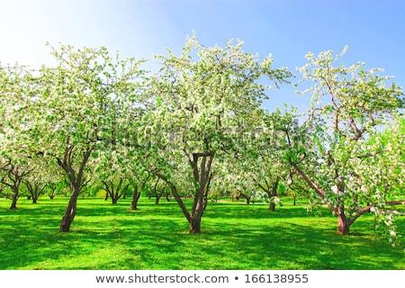 Elma ağaçlar güzel manzara sabah ışık Stok fotoğraf © meinzahn