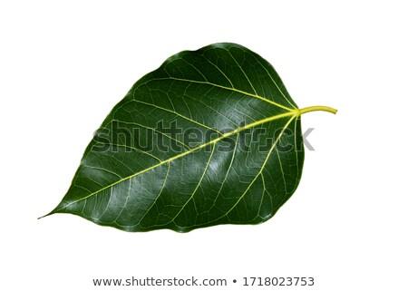 Noir feuilles vertes isolé blanche affaires printemps Photo stock © cidepix