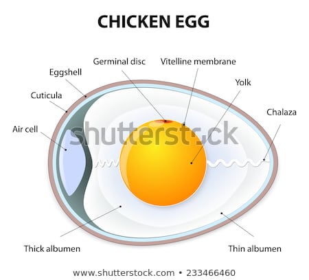 Chicken Egg Anatomy Stock photo © bluering