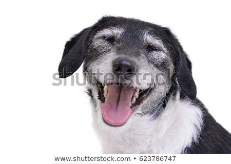 Grappig oren gemengd ras hond portret Stockfoto © vauvau