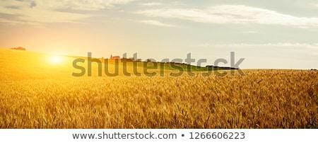 Dziedzinie żyto zbóż drzewo głowie słońce Zdjęcia stock © dawesign