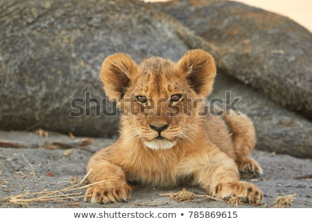 Lion cub resting in the grass. Stock photo © simoneeman