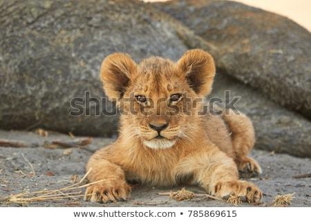 Leeuw welp gras park South Africa Stockfoto © simoneeman