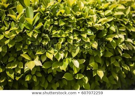 Chá grande arbusto primeiro plano céu Foto stock © Vanzyst