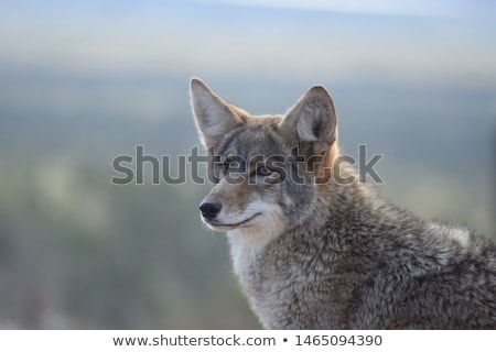 coyote canis latrans stock photo © broker