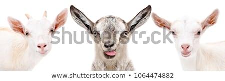 Gris moutons visage heureux illustration heureux art Photo stock © bluering