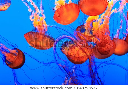pacific sea nettle chrysaora fuscescens stock photo © dirkr